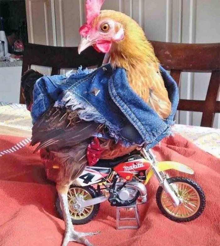 тату картинка зуевская курица прикольная снижении иммунитета