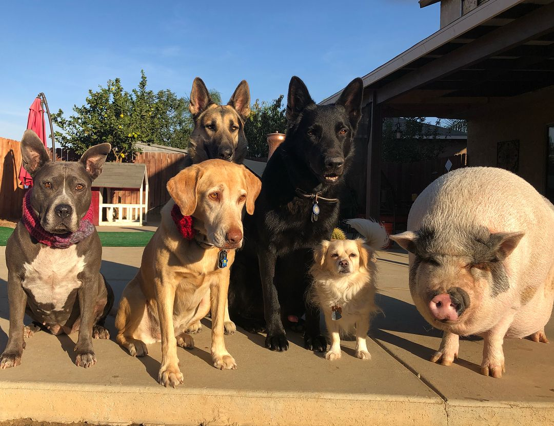 Картинка свинья провожает собаку