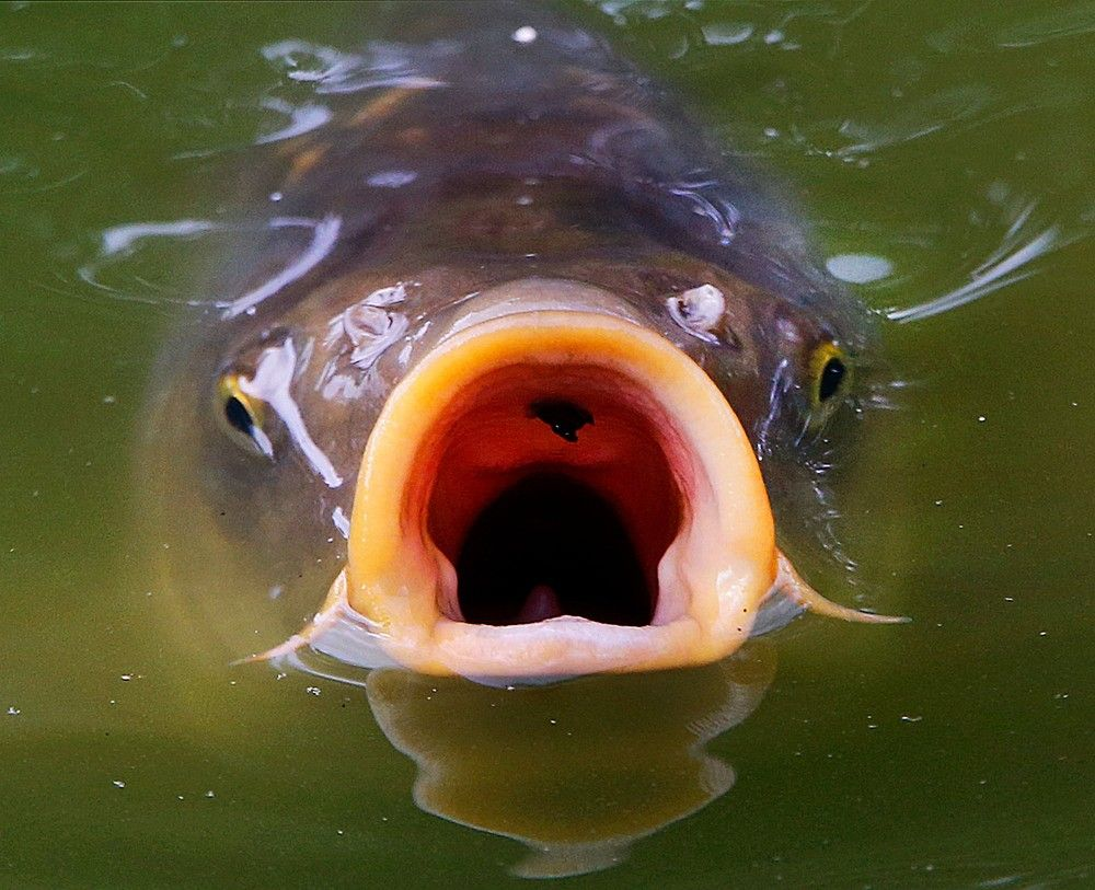 котов картинки рыба с открытым ртом того