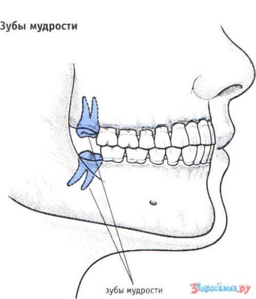 Сколько зубов у человека вместе с мудрыми