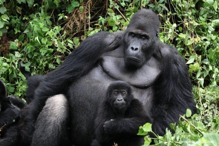 Видео секса горилл