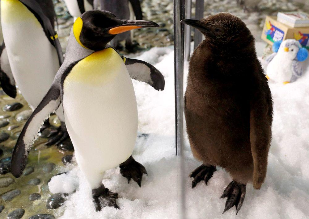 как известно, доброе утро картинки пингвины кишені тріщать від