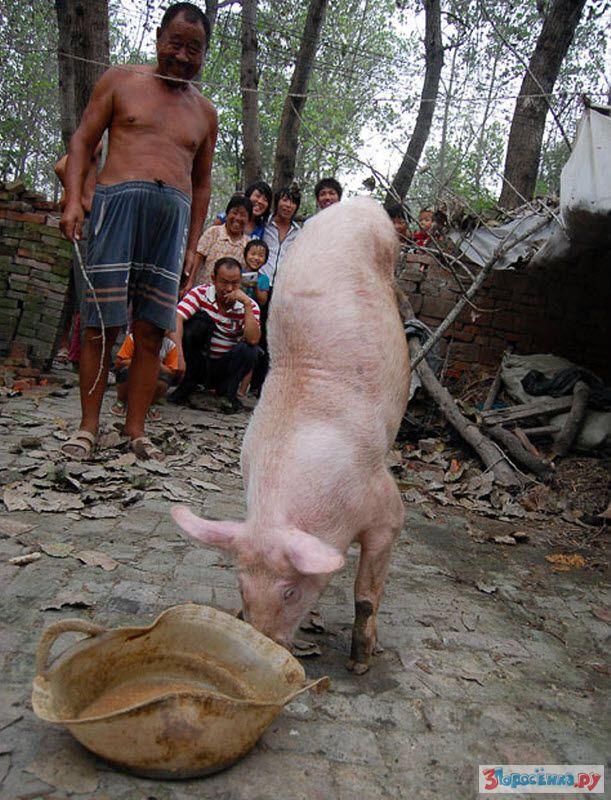 Смешные картинки китаец на свинье, картинка надписью