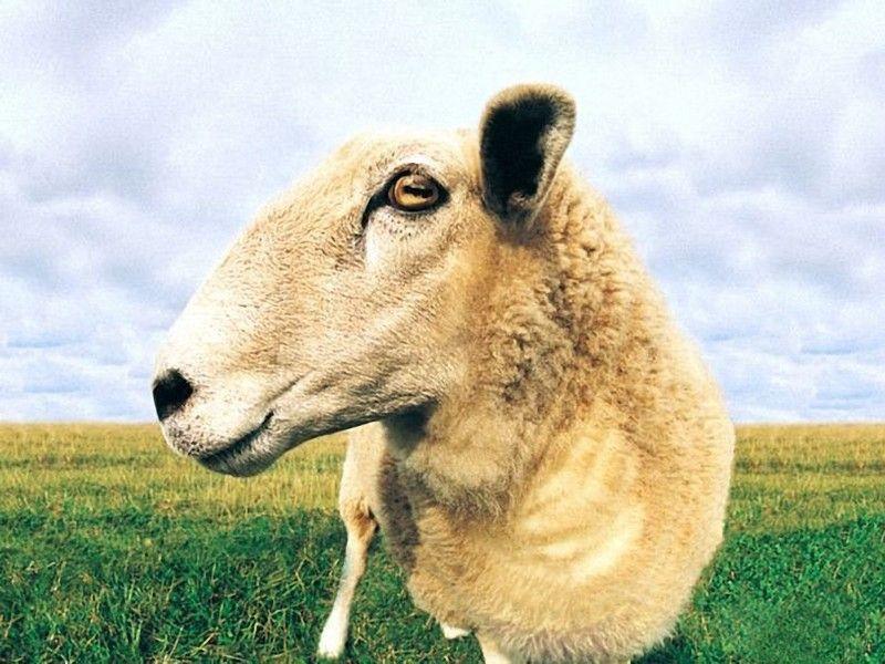 Картинки по запросу Древние овцы