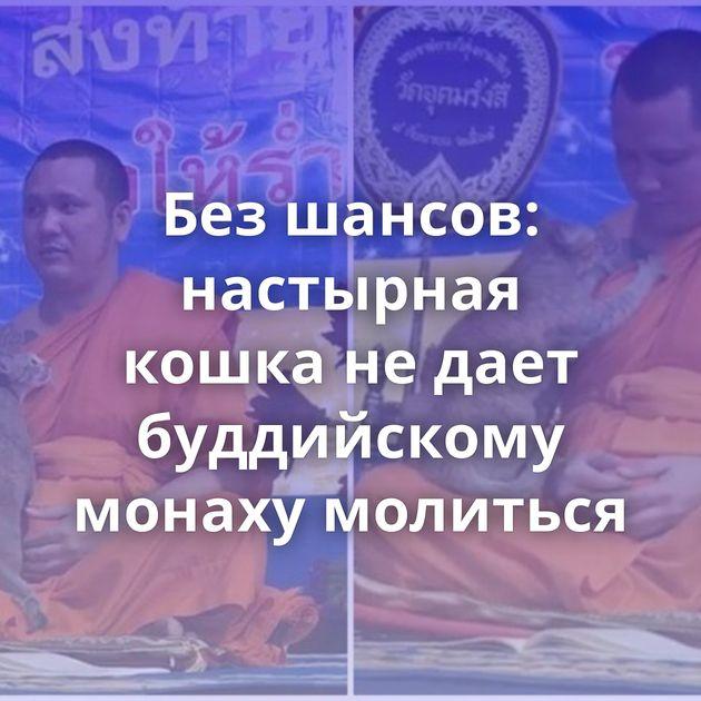 Безшансов: настырная кошка недает буддийскому монаху молиться