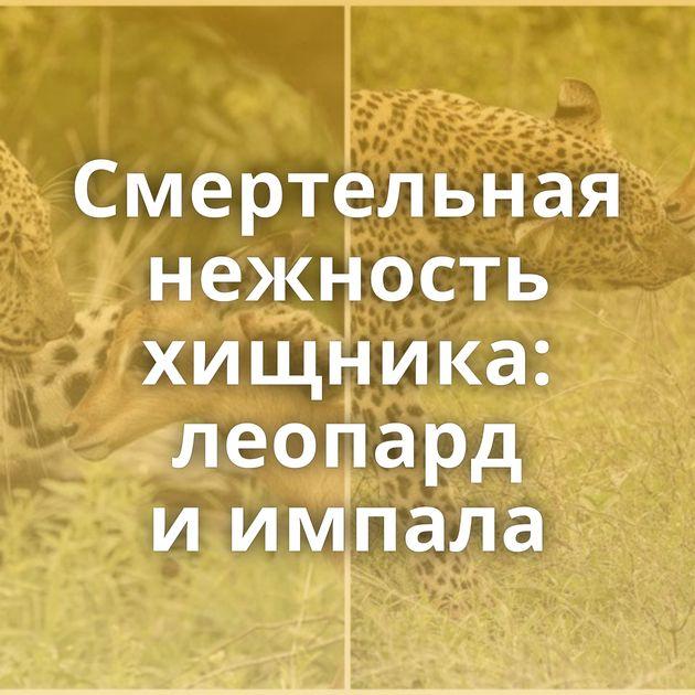 Смертельная нежность хищника: леопард иимпала