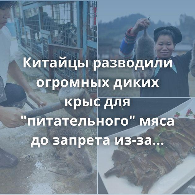 Китайцы разводили огромных диких крыс для