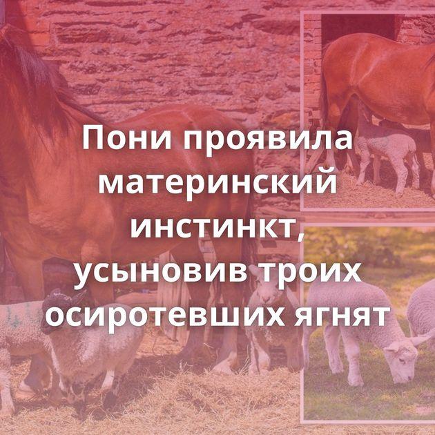 Пони проявила материнский инстинкт, усыновив троих осиротевших ягнят