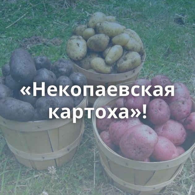 «Некопаевская картоха»!