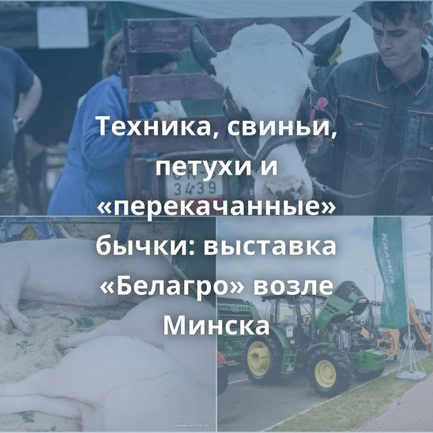 Техника, свиньи, петухи и «перекачанные» бычки: выставка «Белагро» возле Минска