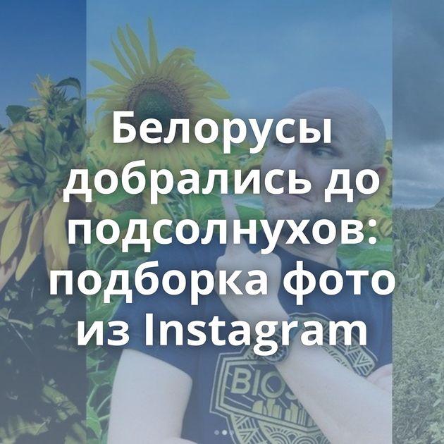 Белорусы добрались до подсолнухов: подборка фото из Instagram