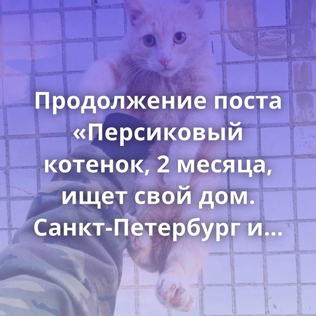 Продолжение поста «Персиковый котенок, 2 месяца, ищет свой дом. Санкт-Петербург и Ленинградская…