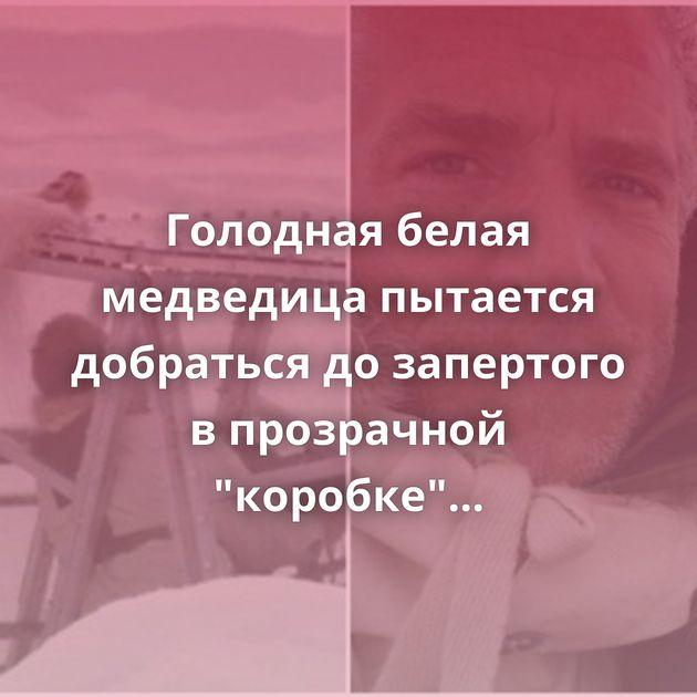 Голодная белая медведица пытается добраться дозапертого впрозрачной