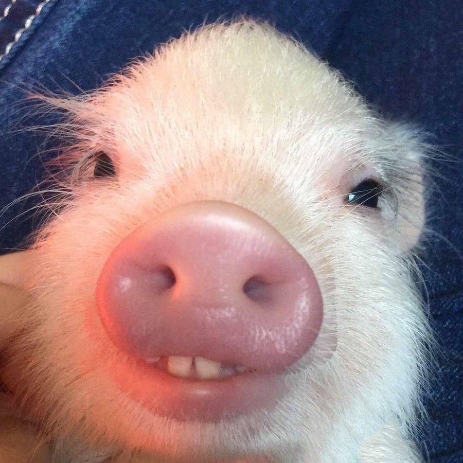 Картинка тупой свинья