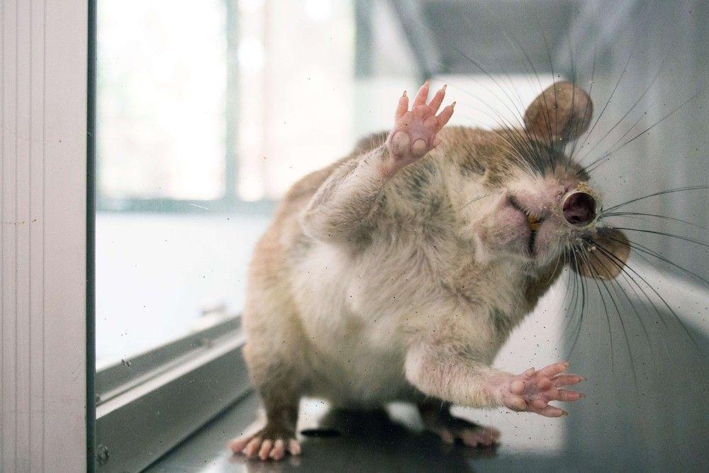 Картинки с приколами крыс