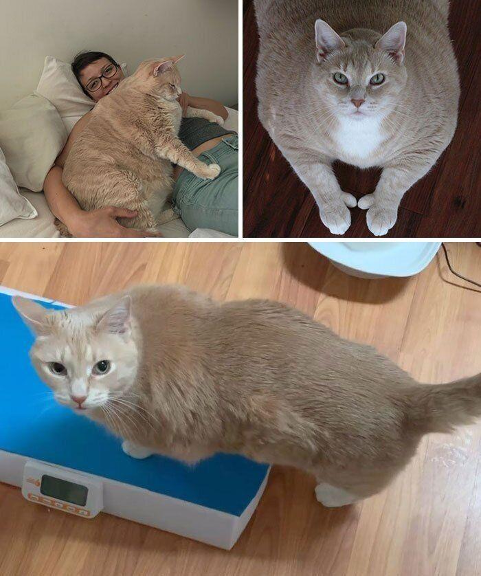 Чтобы толстая кошка похудела